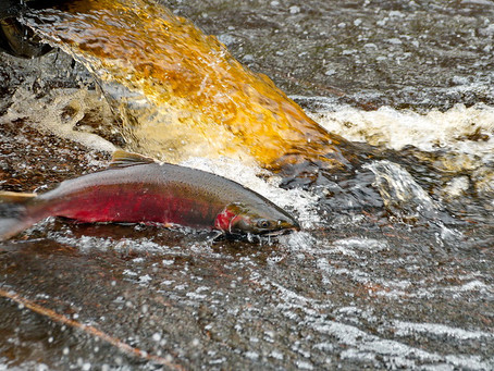 Are Toxic Tires Killing Salmon?