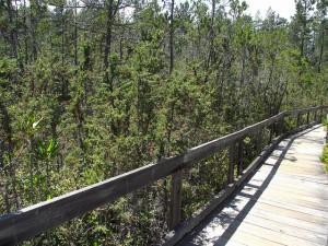 Mendocino Cypress Pygmy Forest Photo Credit:  hidesertdi1 (Flikr)