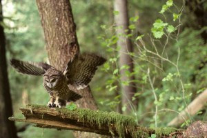 Northern Spotted Owl Told to Wait