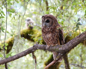 Show Your Support for the Northern Spotted Owl