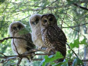 Action Alert: Protect Northern Spotted Owl Habitat