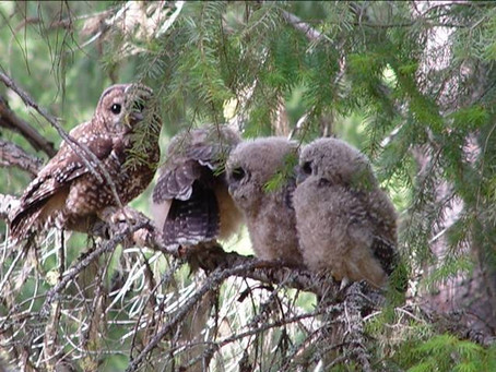 Spotted Owl In Jeopardy: More Protections Needed