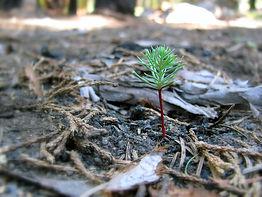 Young Sequoia Post-Fire Photo_ Matt Holly_NPS.jpg