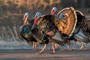 California's Wild Turkeys