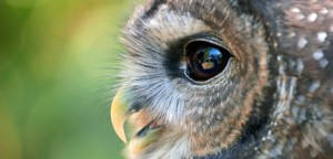 Doubling Down on Protections for the Northern Spotted Owl