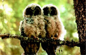 Standing Up for the Northern Spotted Owl