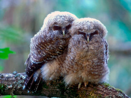 Owls In Trouble on Humboldt Redwood Company Land
