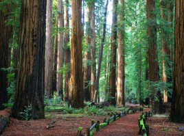 The InterTribal Sinkyone Wilderness Council Calls For A Halt To Richardson Grove Project