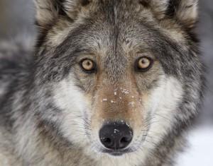 Wolf_Face_by_Ray_Rafiti