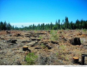 Green Diamond and SPI Team Up to Log Old Growth Redwood and Harm Spotted Owls