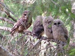 Hooting and Howling for Owls and Wolves in California