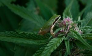 frog on marijuana