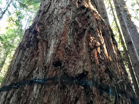 CAL FIRE Threatens Forest Activists with Cease and Desist Letter