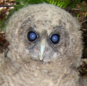 EPIC Files Rulemaking Petition to Delete Harmful Rules that Allow Take of Northern Spotted Owls