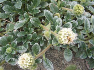 Endangered Species Act Protection Sought for Rare Coastal Plant in Oregon and California
