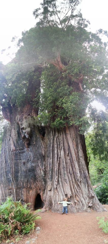 Two year old Madrone Shelton hugs Grandfather Tree