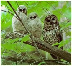 Final Spotted Owl Critical Habitat Rule Restores Federal Lands, But Excludes Redwood Region