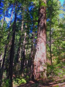 """Win For Conservation Groups: Illegal """"Crawford"""" Old-Growth Timber Sale Withdrawn"""