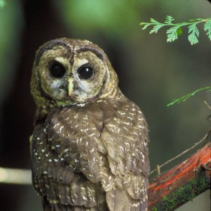 Northern Spotted Owl Recovery Plan Released