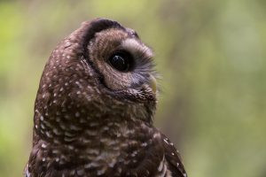 Fish and Wildlife Service Sides with Timber Industry Over Owl Habitat