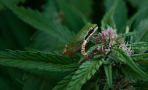An Ordinance for Humboldt County's Medical Cannabis Cultivators