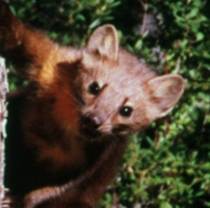 Fish & Wildlife Service Doesn't Care About the Humboldt Marten