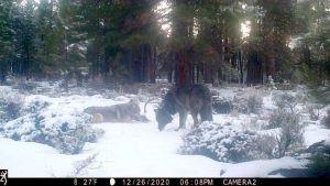 More California Wolves!