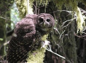 Northern Spotted Owl Abandoned to Whims of CAL FIRE