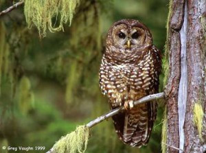 Tell Administration Officials to Protect Spotted Owl Habitat