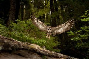 Time's Up: Feds Missed Deadlines For Years, Harming Imperiled Northern Spotted Owls