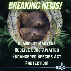 BREAKING: Humboldt Martens Receive Long-Awaited Endangered Species Act Protection