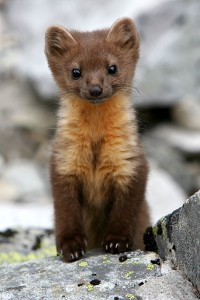 Opening Brief Filed in Case to Save Humboldt Marten