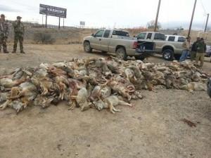 dead_coyotes