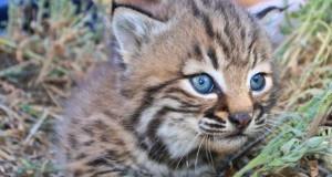 bobcat-kitten flikr