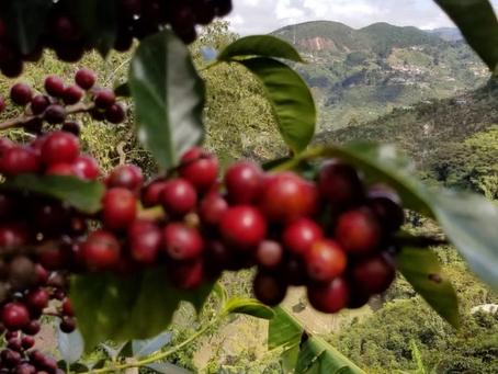 """Nuestra finca de café en la """"Zona de los Santos"""""""
