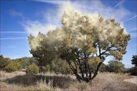Juniper tree pollen
