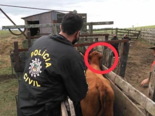 Polícia prende dois homens por receptação de gado em Aceguá