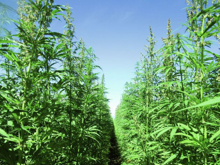 Tools to Manage Risk as a Hemp Grower