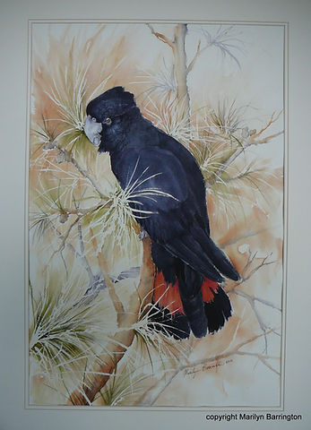 Red Tailed Cockatoo in watercolour