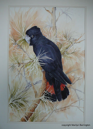 Red Tailed Cockatoo Watercolour