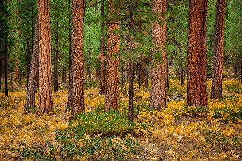 Order #ST002 Ponderosa Pine Trees near Sisters, Oregon