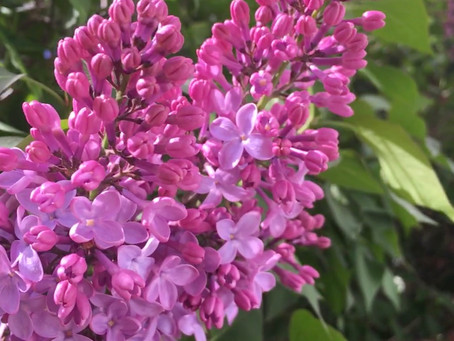 Purple Lilacs starting to blossom