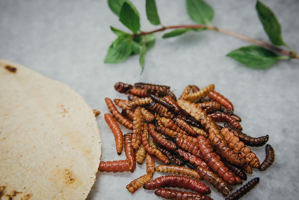 Tortilla de trigo con gusanos de maguey o agave rojo fritos