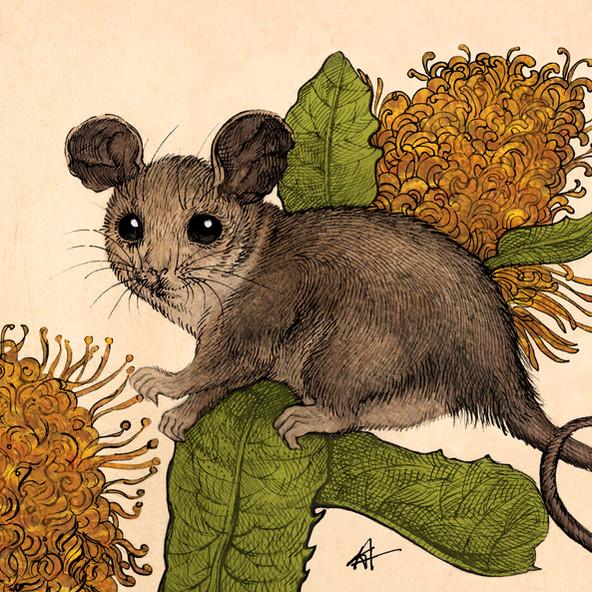 Pysmy Possum