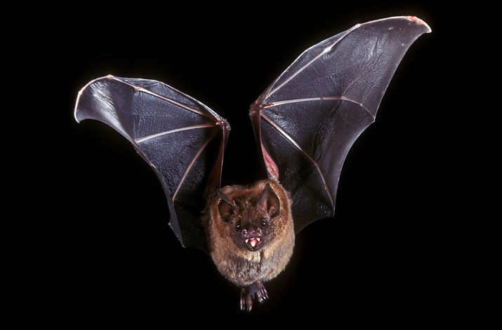 Bats-structures-organs-sound-frequencies