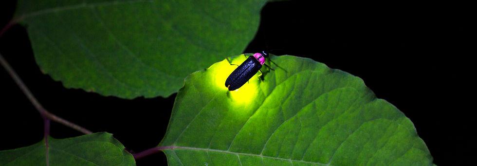 fireflies-lead.jpg