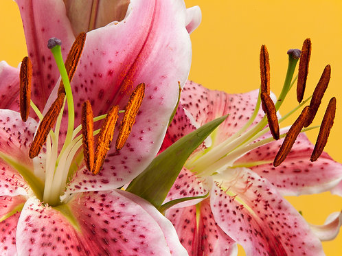 Pink lily 8x10 matted print
