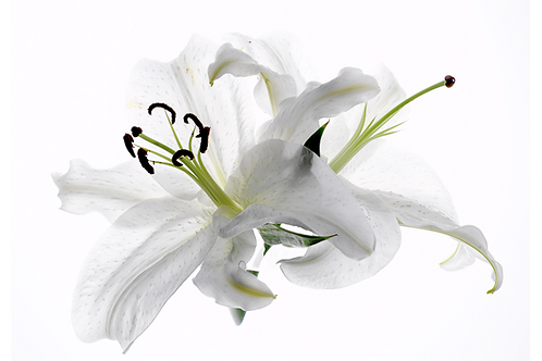 White lily 8x10 matted print