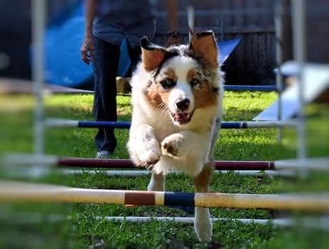 Aussie puppy practicing agility