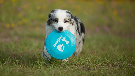 Australian Shepherd with a frisbee